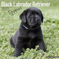 Black Labrador Puppies Wall Calendar 2017