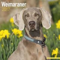 Weimaraner Wall Calendar 2017